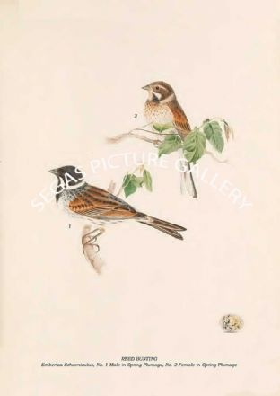 REED BUNTING - Emberiza Schoeniculus, No. 1 Male in Spring Plumage, No. 2 Female in Spring Plumage